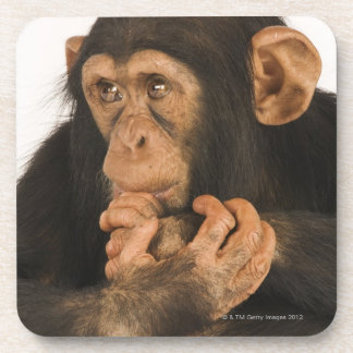 Chimpanzee (Pan troglodytes). Young playfull 2 Coaster