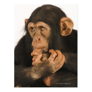 Chimpanzee (Pan troglodytes). Young playfull 2 Postcard