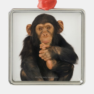 Chimpanzee (Pan troglodytes). Young playfull Christmas Ornament
