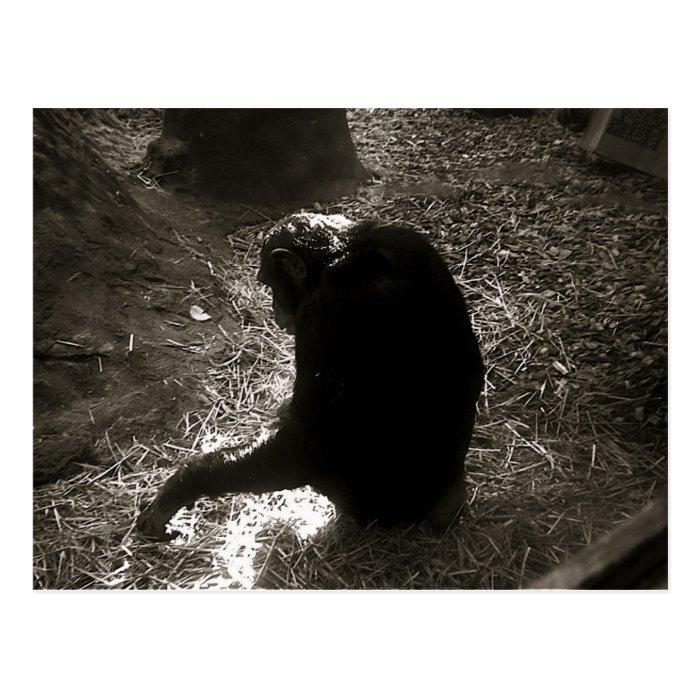 Chimpanzee - Postcard