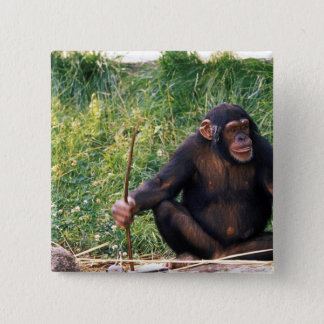 Chimpanzee using stick as a tool to obtain 15 cm square badge