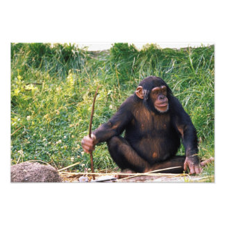 Chimpanzee using stick as a tool to obtain photo print