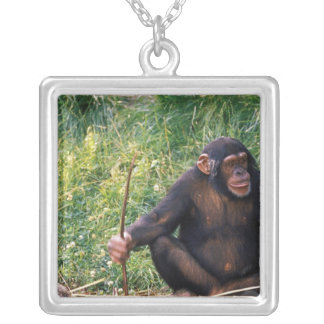 Chimpanzee using stick as a tool to obtain silver plated necklace
