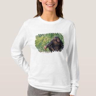 Chimpanzee using stick as a tool to obtain T-Shirt