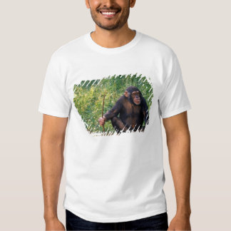 Chimpanzee using stick as a tool to obtain tshirts