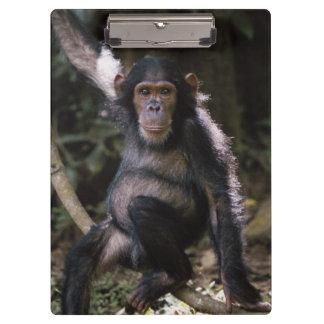 Chimpanzee Young Female Clipboard
