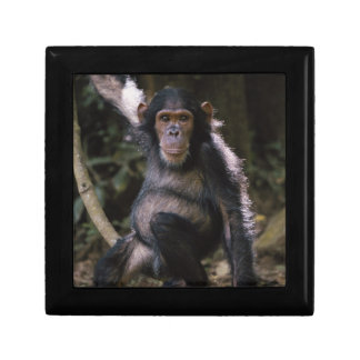 Chimpanzee Young Female Gift Box