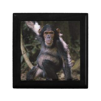 Chimpanzee Young Female Small Square Gift Box
