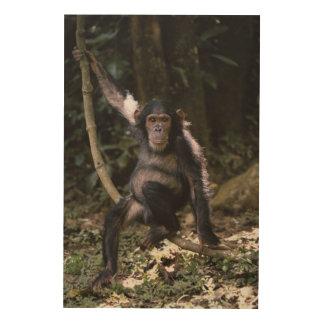 Chimpanzee Young Female Wood Print
