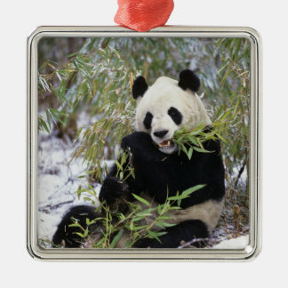China, Sichuan Province. Giant Panda feeds on Christmas Ornament