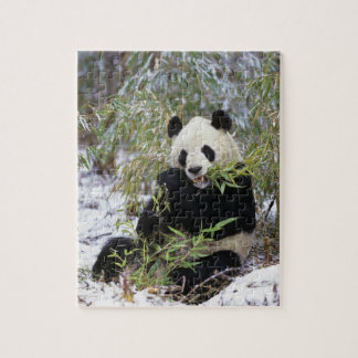 China, Sichuan Province. Giant Panda feeds on Jigsaw Puzzle