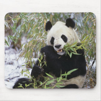 China, Sichuan Province. Giant Panda feeds on Mouse Mat