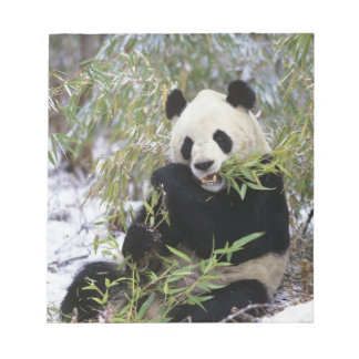 China, Sichuan Province. Giant Panda feeds on Notepad