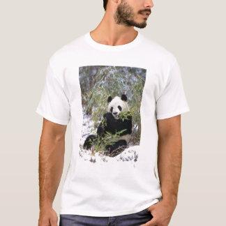 China, Sichuan Province. Giant Panda feeds on T-Shirt