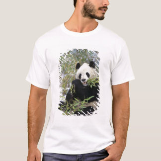China, Sichuan Province. Giant Panda feeds on T-Shirt