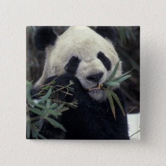 China, Wolong Nature Reserve. Giant Panda feeds 15 Cm Square Badge