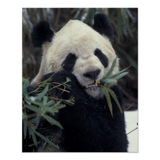 China, Wolong Nature Reserve. Giant Panda feeds Poster
