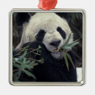 China, Wolong Nature Reserve. Giant Panda feeds Silver-Colored Square Decoration