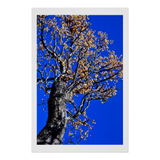 Chinaberry Tree against Azure Sky Poster