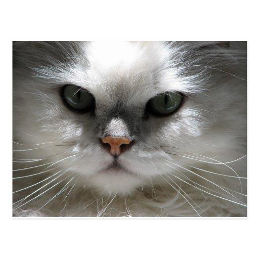 Chinchilla Persian Cat Postcards