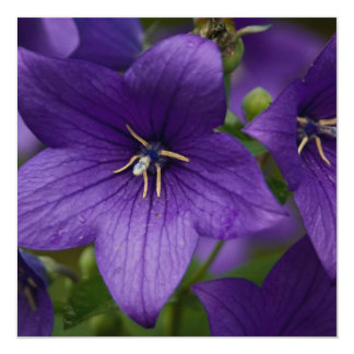 Chinese Bellflower Announcements