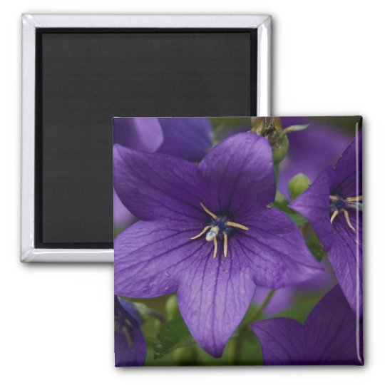 Chinese Bellflower Square Magnet