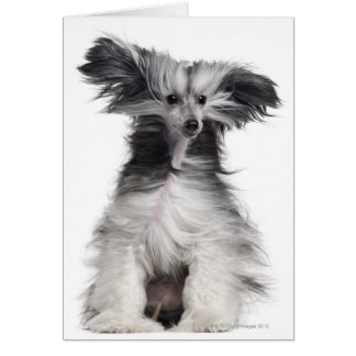 Chinese Crested Dog (15 months old) in the wind Card