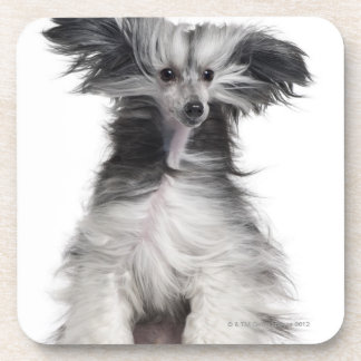 Chinese Crested Dog (15 months old) in the wind Coasters
