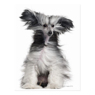 Chinese Crested Dog (15 months old) in the wind Postcard
