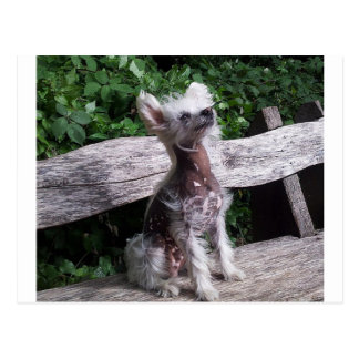Chinese_Crested_Dog sitting 2.jpg Postcard