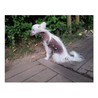 Chinese_Crested_Dog sitting.png Postcard