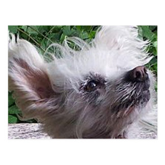 Chinese_Crested.png Postcard