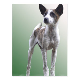 Chinese Crested Show Dog Postcard
