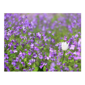 Chinese Violet Cress and Single White Tulip Postcard