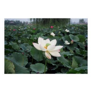 Chinese Water Lily Poster