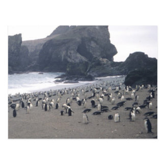 Chinstrap Penguins on Seal Island Post Card