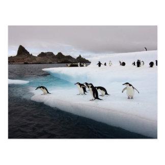 chinstrap penguins Pygoscelis antarctica 2 Postcards