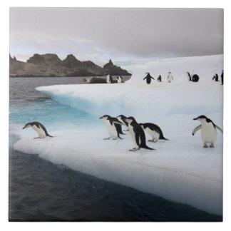 chinstrap penguins, Pygoscelis antarctica, 2 Tile