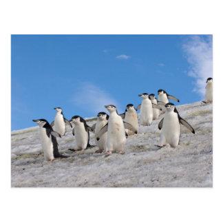 chinstrap penguins Pygoscelis antarctica Post Cards