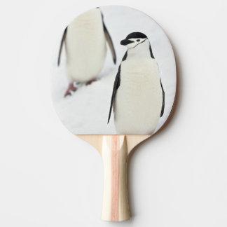 Chinstrap Penguins Pygoscelis antarcticus), Ping-Pong Paddle