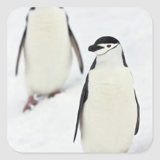 Chinstrap Penguins Pygoscelis antarcticus), Square Sticker