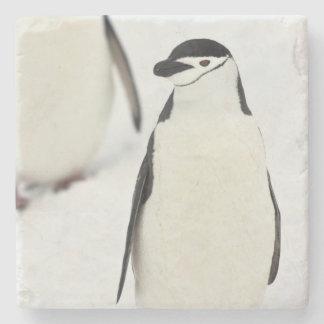 Chinstrap Penguins Pygoscelis antarcticus), Stone Coaster