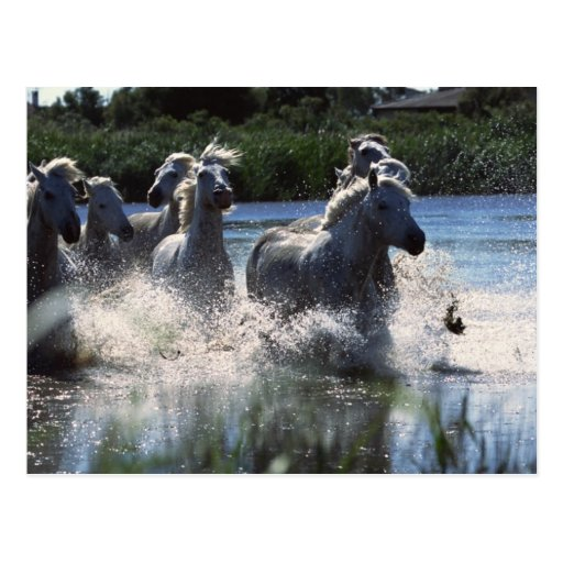 Chintoteague Ponies Crossing Channel Postcards