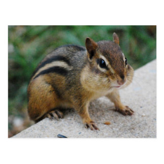 Chipmunk Cheeks Postcard