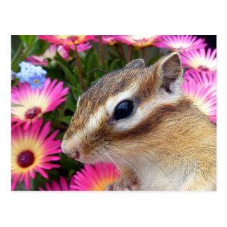 Chipmunk photo (30-13) postcard