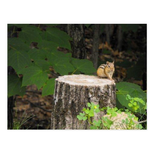 chipmunk resting on tree stump postcards