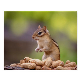Chipmunk with peanuts poster