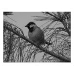 Chippling Sparrow Poster