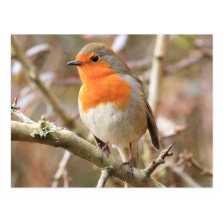 Chirpy Robin Postcard