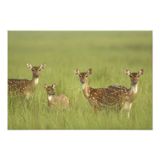 Chital Deers and a young one,Corbett National Photo Print